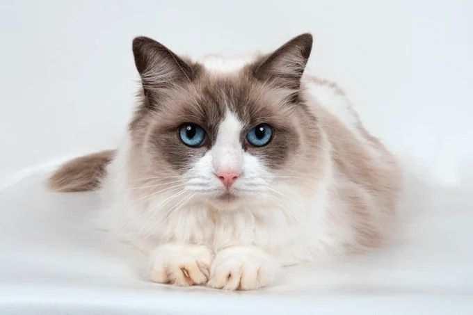 gato ragdoll con los ojos azules