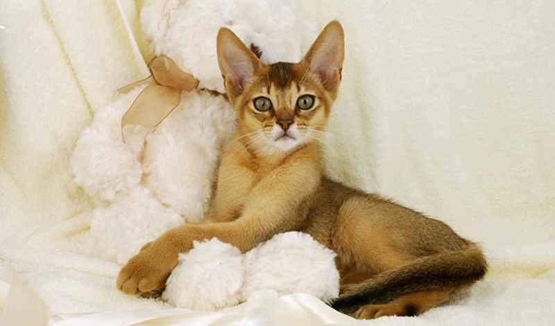 raza de gato abisinio tumbado