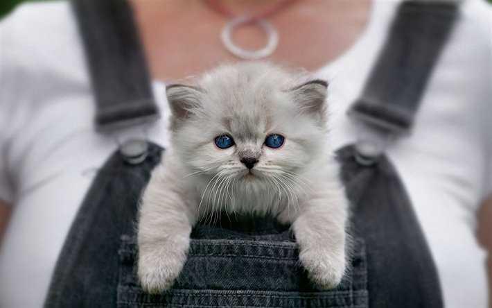 gato de raza ragdoll