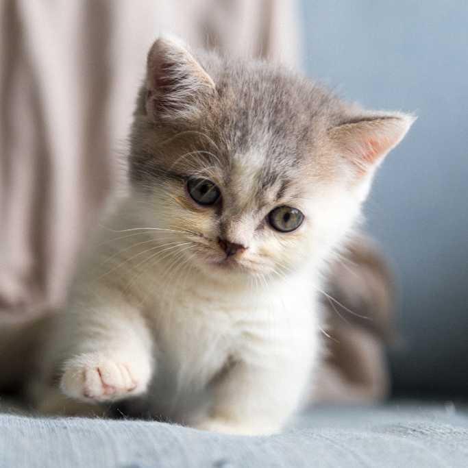 Cahorro de gato