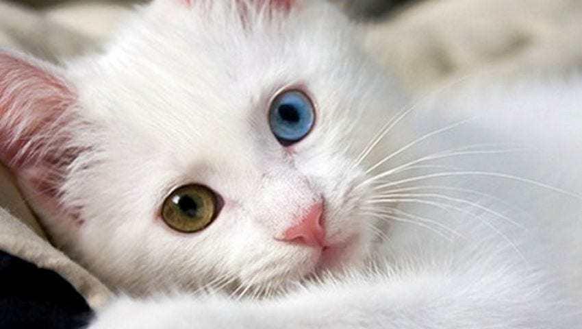 gatito raza van turco con ojos de diferente color