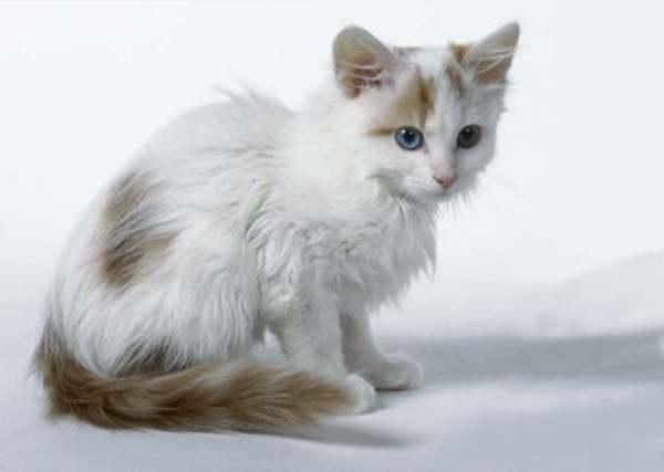gatito van turco bebe