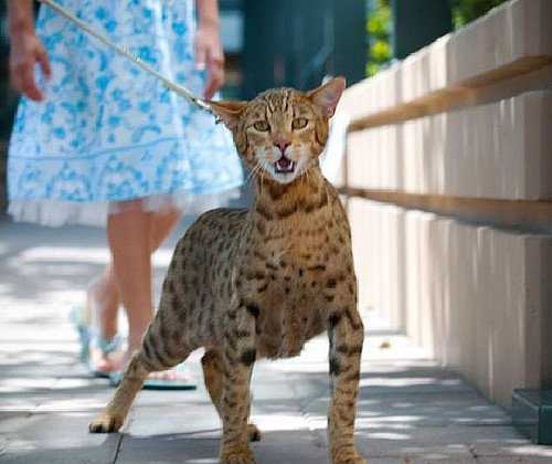 gato ashera paseando
