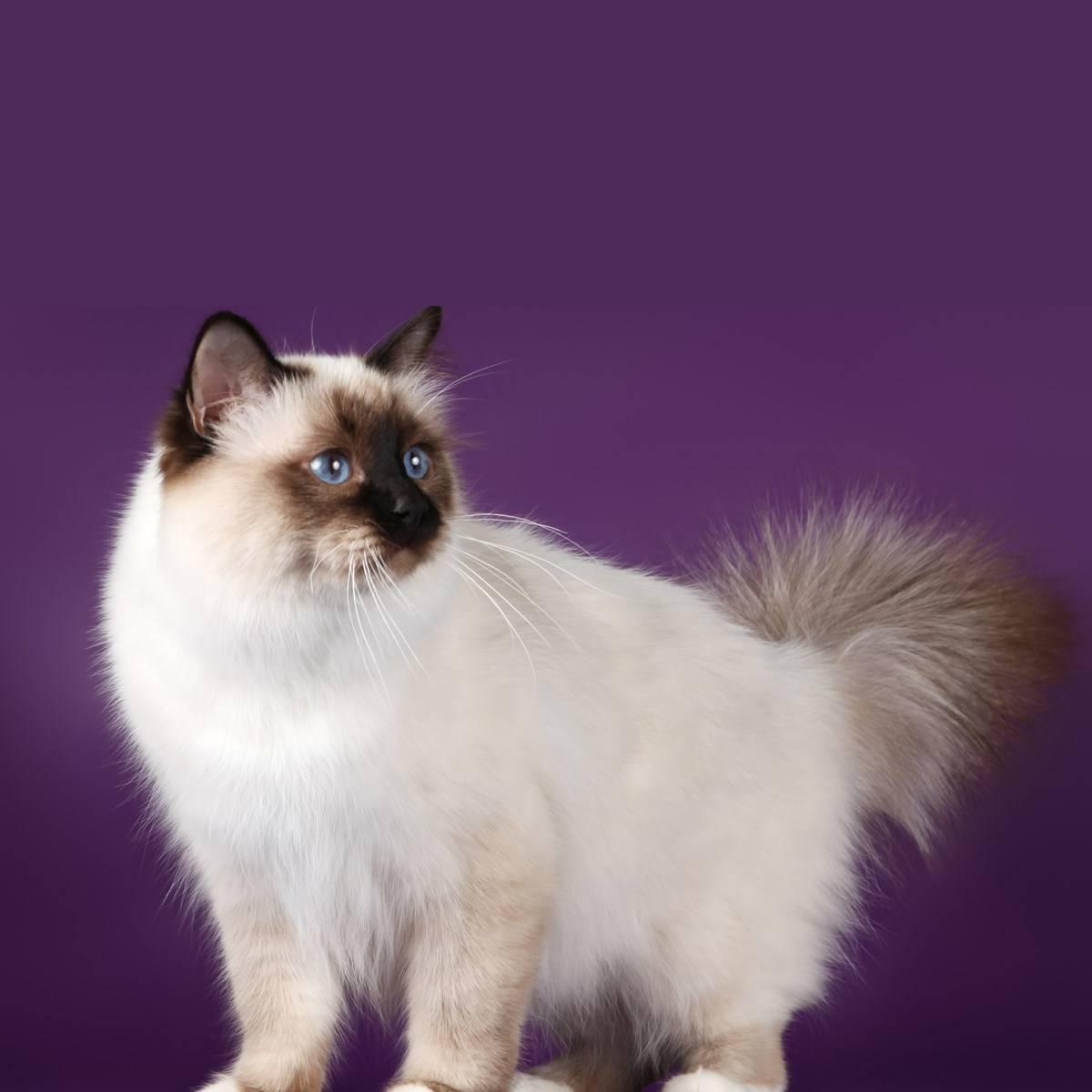 gato Sagrado de Birmania