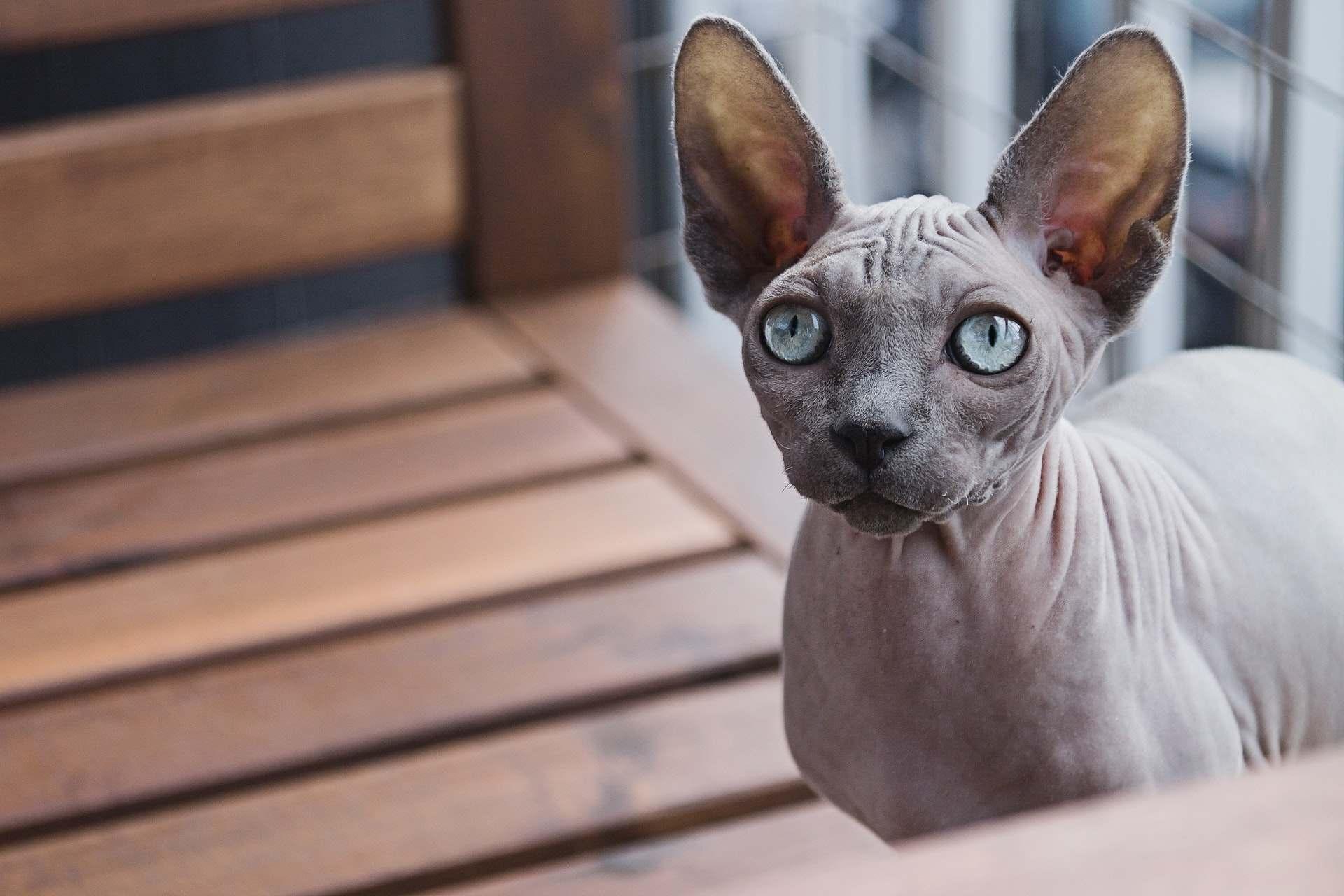 Gato Sphynx ojos azules