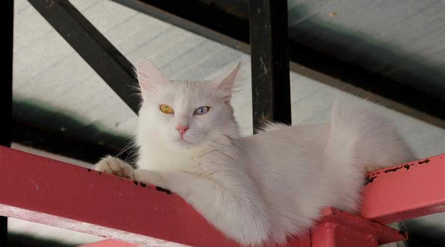 gato turkish van adulto color blanco