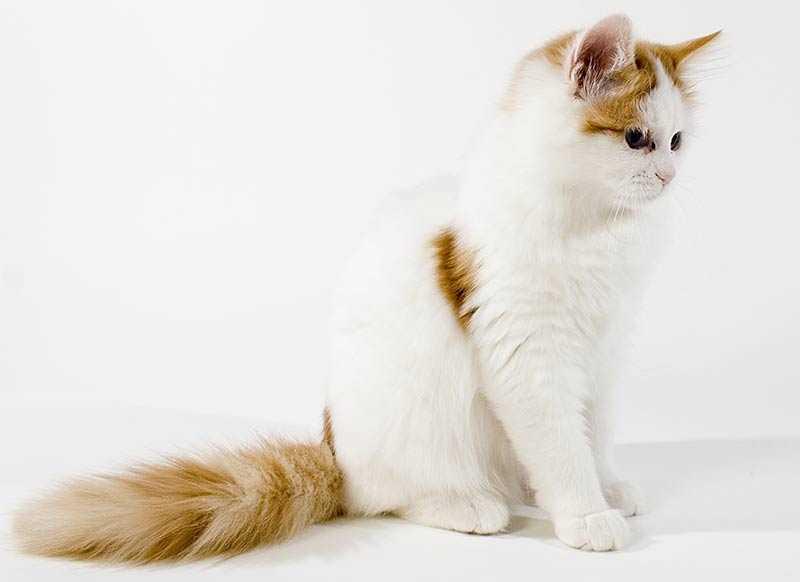 cachorro de gato van turco
