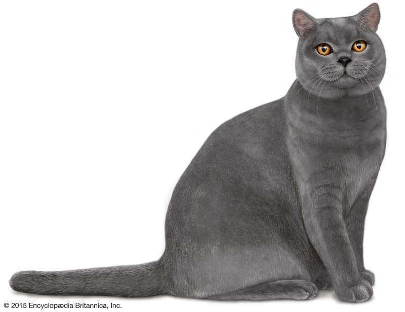 precio de un gato british shorthair