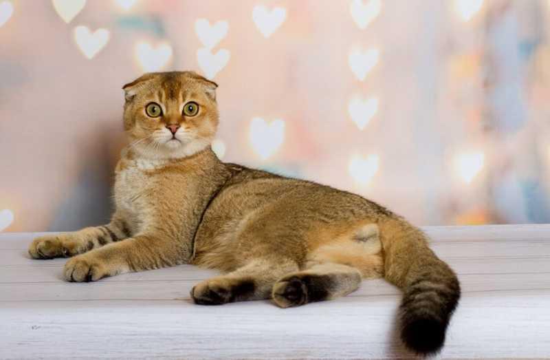 gato Scottish Fold tumbado