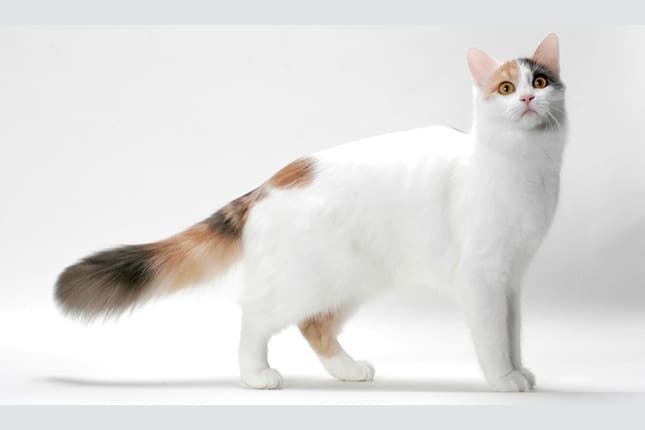 gato van turco o turkish van