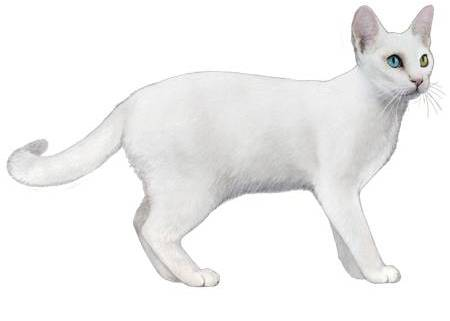 gato khao manee precio