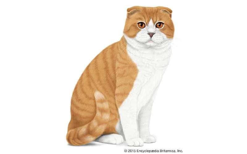 precio gato Scottish Fold
