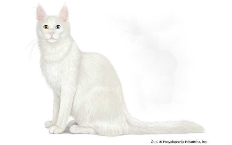gato angora turco precio
