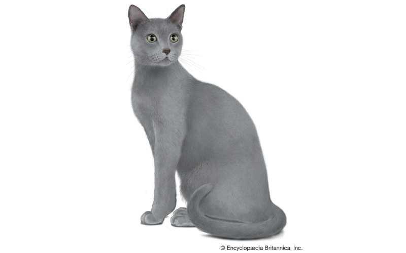 gato azul ruso precio