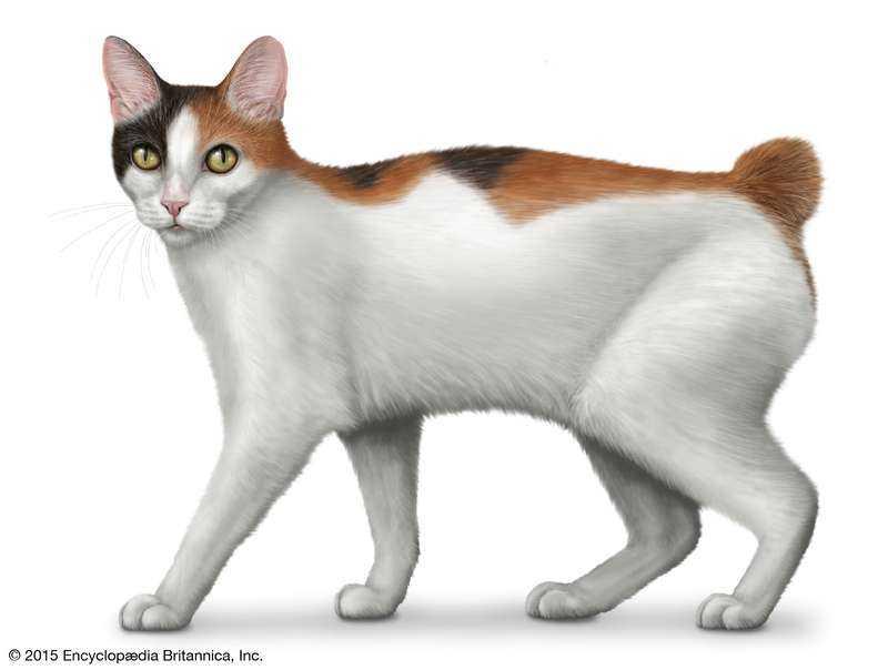 gato Bobtail Japonés precio