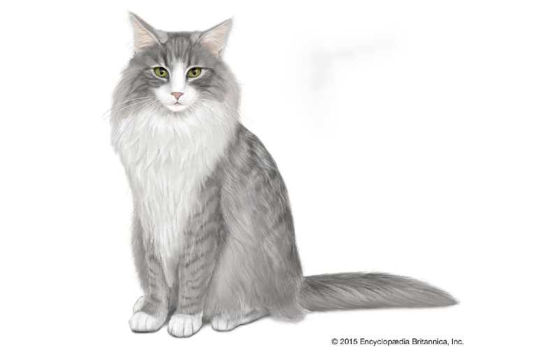 gato bosque de noruega precio