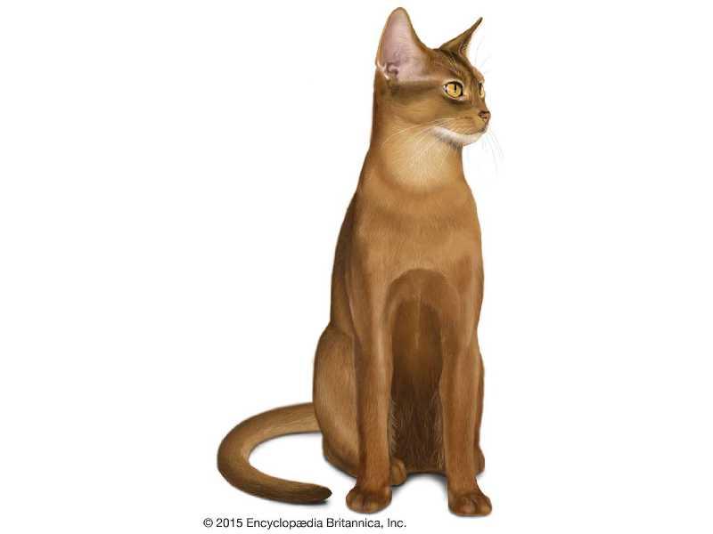gato abisinio precio