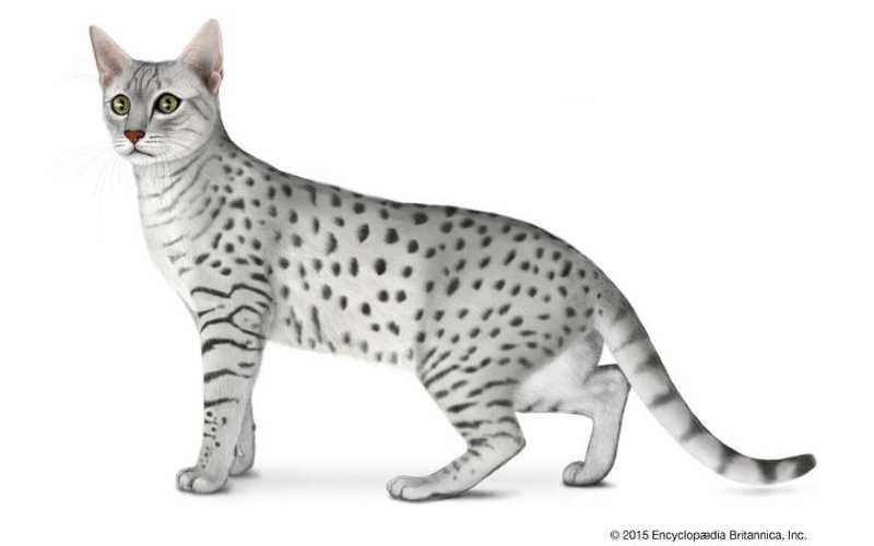 gato mau egipcio precio