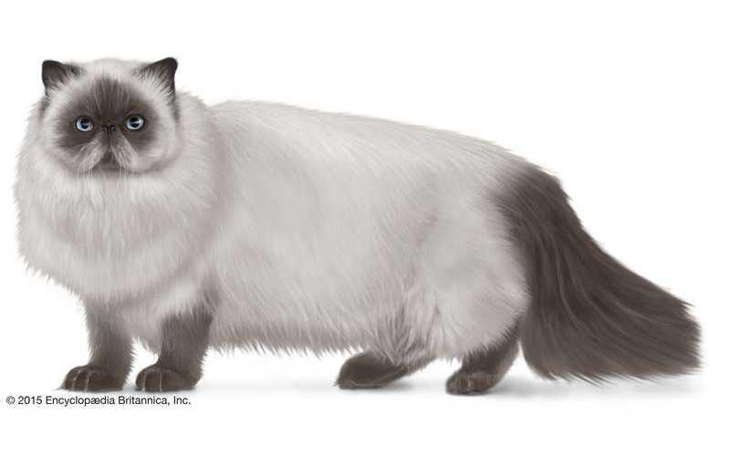gato himalayo precio