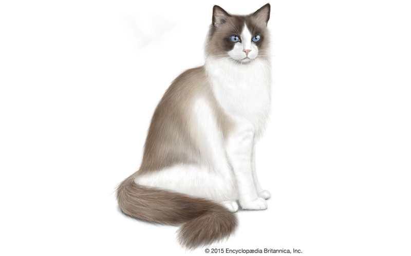 precio del gato Ragdoll