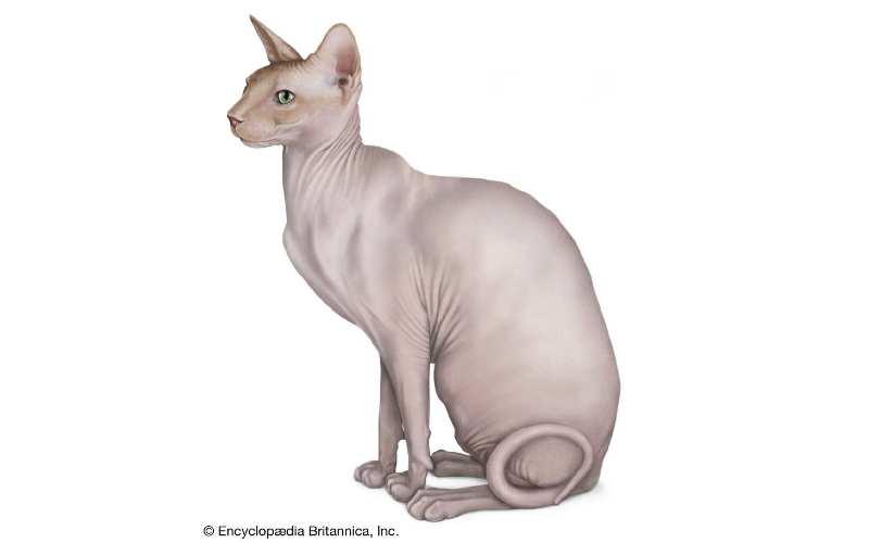 gato sphynx precio