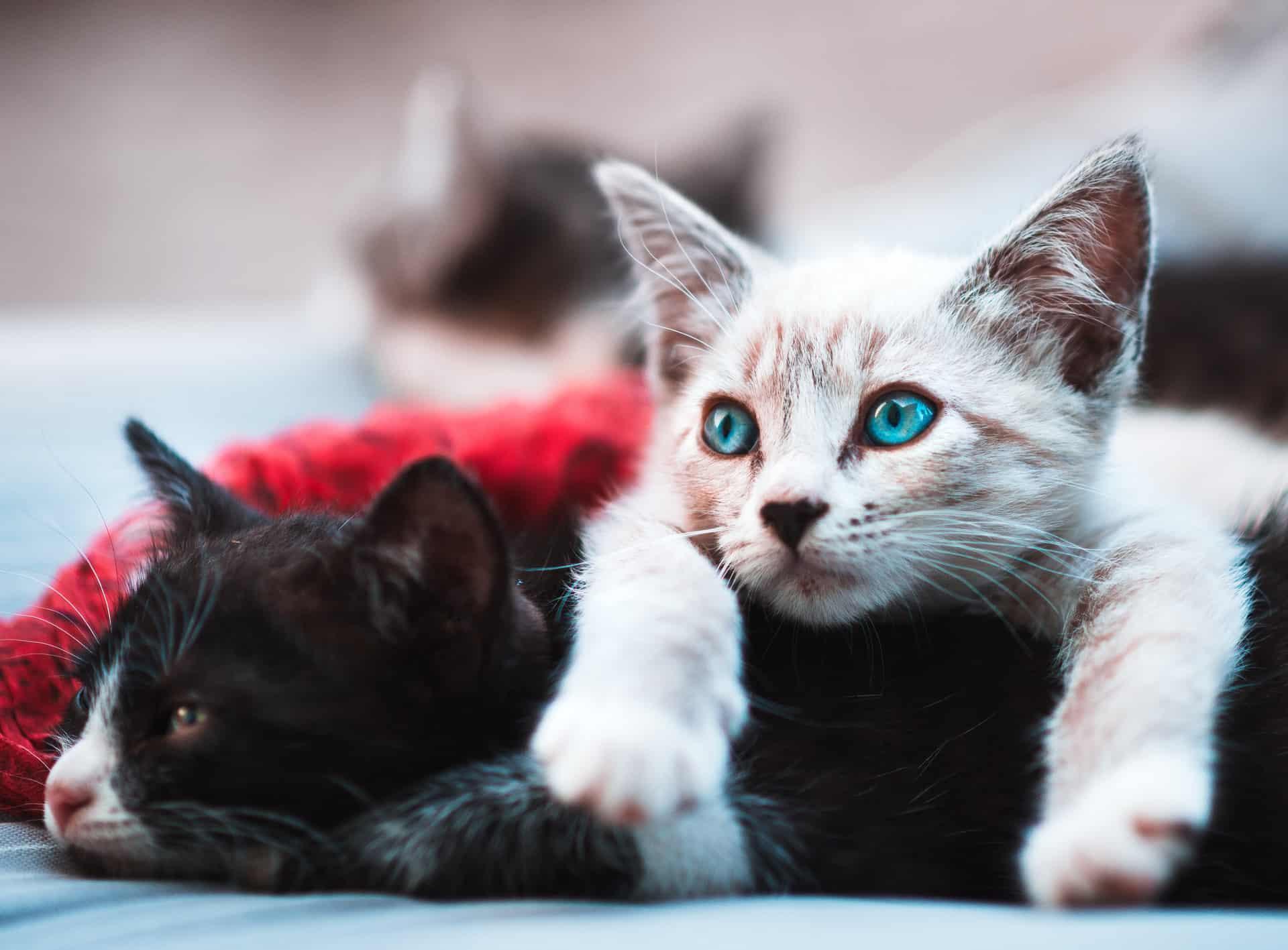 razas de gatos, dos gatitos diferentes