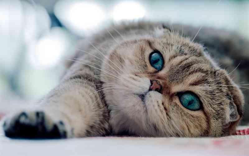 Scotthis fold ojos azules