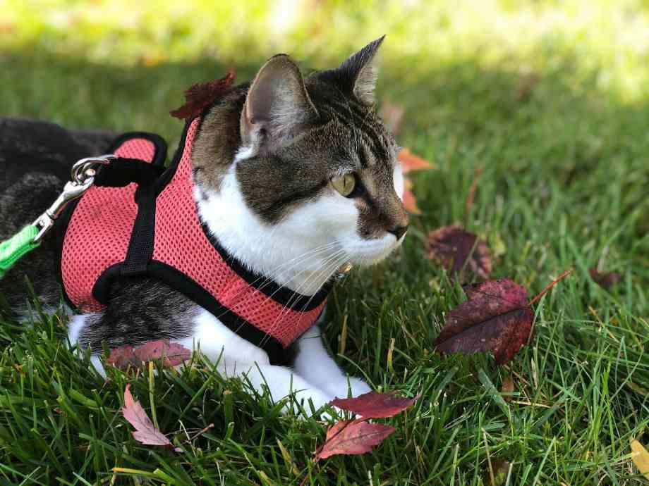 gato paseo con arnes en campo