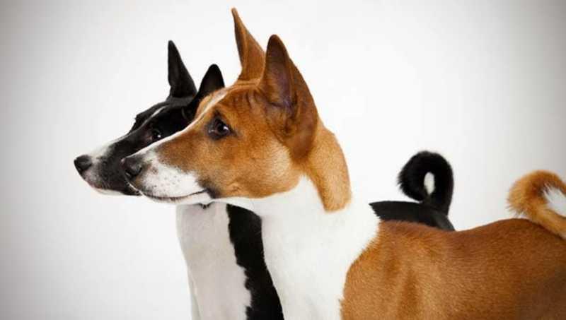 perros medianos que no sueltan pelo Basenji