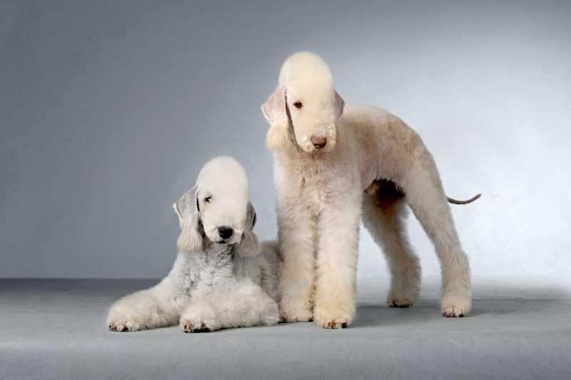 dos perros bedlington terrier