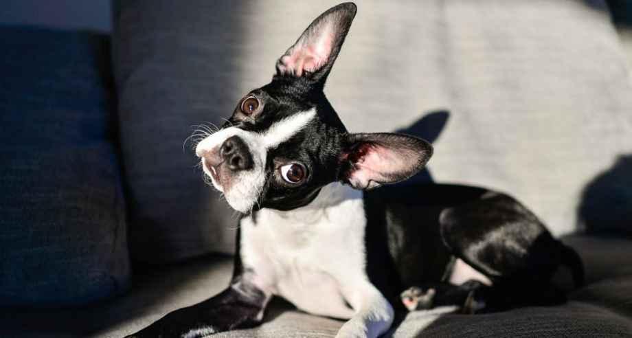 perros pequeños no sueltan pelo boston terrier