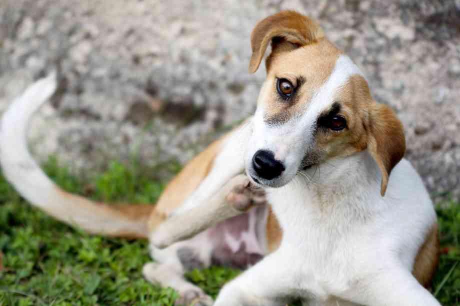 dermatitis en perros rascado