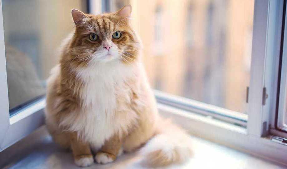 gato esterilizado con sobrepeso