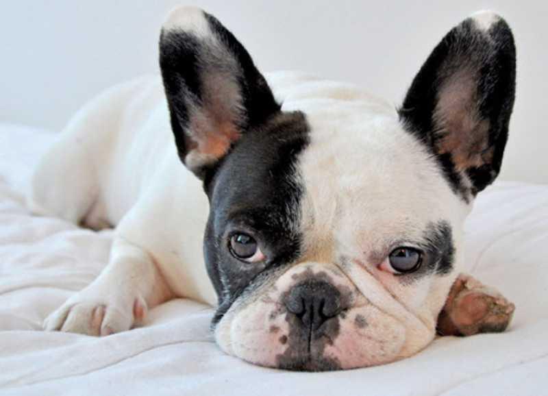 bulldog francés raza propensa dermatitis atópica en perros
