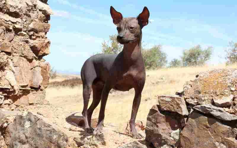 perro no suelta pelo peruano