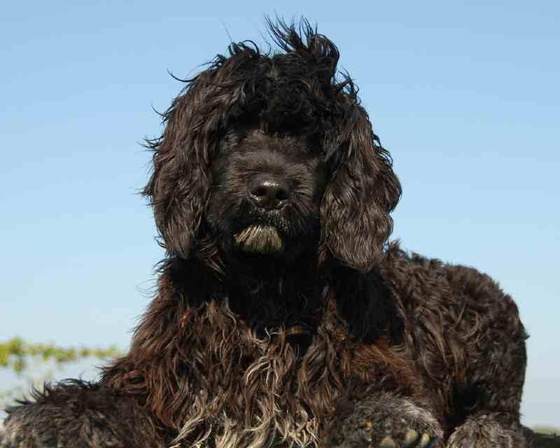 perros hipoalergénicos, cao de agua portugués