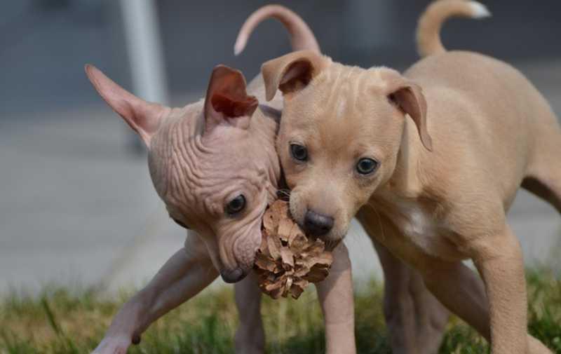Raza de perros hipoalergénicos American Terrier Hairless