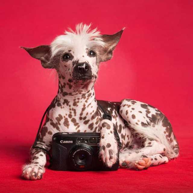razas de perros hipoalergenicos