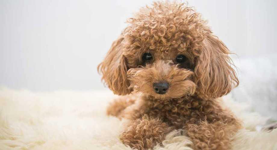 perros que no suelta pelo caniche toy