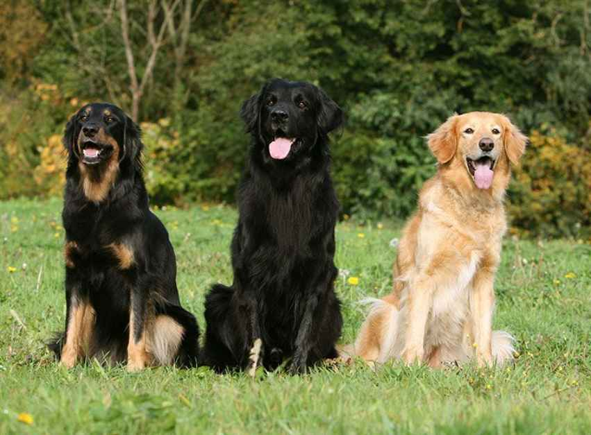 colores perros Hovawart
