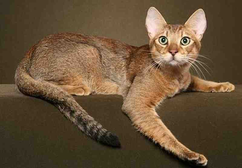 Gato híbrido Chausie