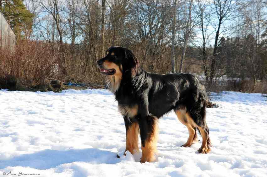 perro hovawart negro y dorado