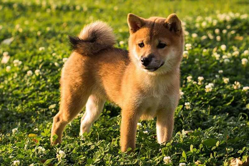 Raza de Perro Hokkaido