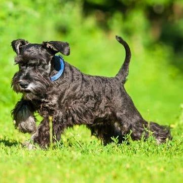 Raza de perro schnauzer miniatura
