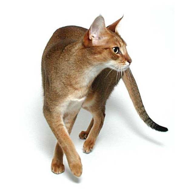 chausie gato