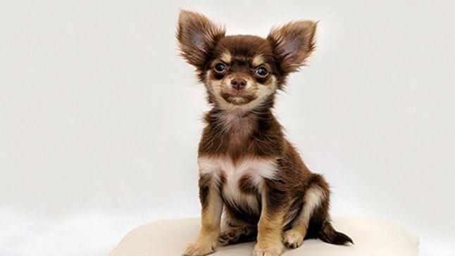 Perros que no crecen chihuahua