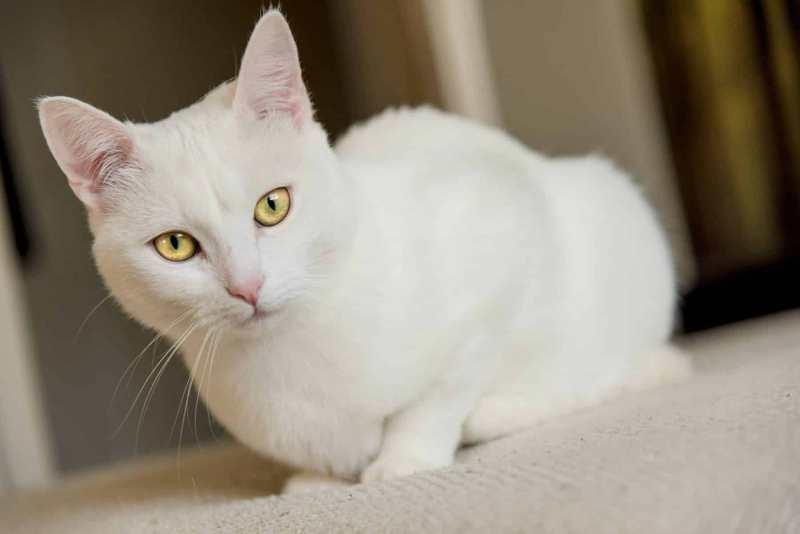 dermatitis actínica gatos
