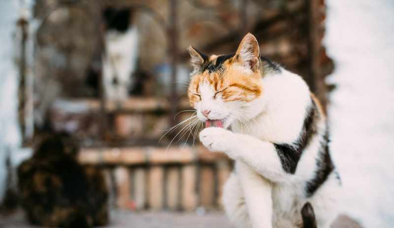 dermatitis miliar gatos sintomas