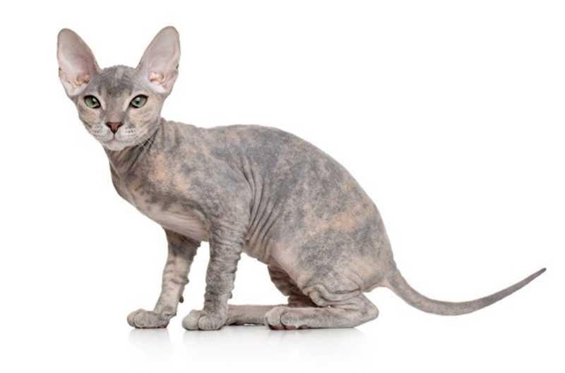 gatos sin pelo Donskoy