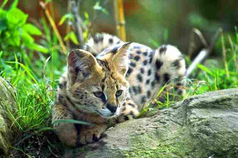 gato híbrido salvaje